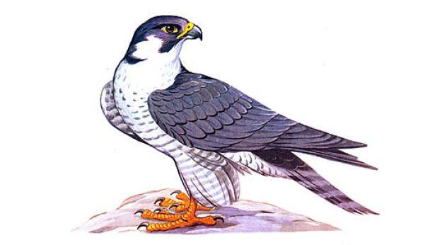 Картинки лесных птиц